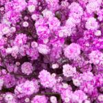 Painted light pink - Pyganflor - The Best in Gypsophila