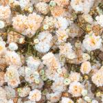 Light orange - Pyganflor - The Best in Gypsophila