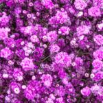 Painted pink - Pyganflor - The Best in Gypsophila