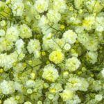 Painted yellow - Pyganflor - The Best in Gypsophila